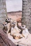 Famiglia di Suricate o di Meerkat (suricatta del Suricata) Immagini Stock Libere da Diritti