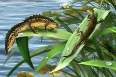 Famiglia di tritoni, amore di tritoni. salamandra amfibia Immagini Stock