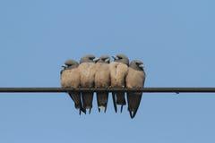 Famiglia di uccello Fotografie Stock Libere da Diritti