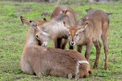 Famiglia di Waterbuck Fotografia Stock