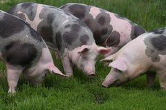 Famiglia domestica del maiale sulla fattoria degli animali rurale Fotografia Stock Libera da Diritti