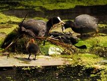 Famiglia euroasiatica adulta della folaga che fa nido che nuota ancora e che si alimenta un lago di calma Immagini Stock Libere da Diritti