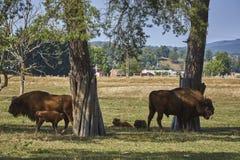 Famiglia europea del bisonte Immagini Stock