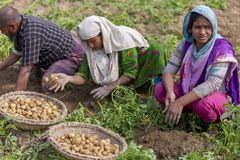 Famiglia felice che raccoglie le patate nei loro campi in Thakurgong, Bangladesh Fotografia Stock