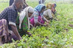Famiglia felice che raccoglie le patate nei loro campi in Thakurgong, Bangladesh Immagine Stock Libera da Diritti