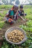 Famiglia felice che raccoglie le patate nei loro campi in Thakurgong, Bangladesh Immagini Stock Libere da Diritti