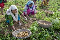 Famiglia felice che raccoglie le patate nei loro campi in Thakurgong, Bangladesh Fotografia Stock Libera da Diritti