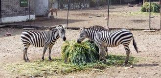 Famiglia felice della zebra Fotografia Stock Libera da Diritti