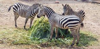 Famiglia felice della zebra Immagine Stock Libera da Diritti