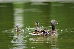 Famiglia felice delle anatre che nuotano nello stagno immagine stock