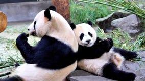 Famiglia felice sveglia del panda gigante che mangia insieme i germogli di bambù freschi, parte posteriore dal panda della parte  video d archivio