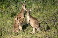 Famiglia grigia orientale del canguro Fotografia Stock Libera da Diritti