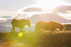 Famiglia islandese del cavallo con il chiarore della lente Fotografia Stock Libera da Diritti