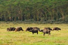 Famiglia Kenya della Buffalo Immagini Stock