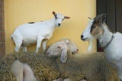Famiglia pazzesca dell'azienda agricola di animali Immagini Stock Libere da Diritti