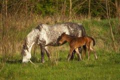 Famiglia piacevole del cavallo sul pascolo Fotografia Stock Libera da Diritti
