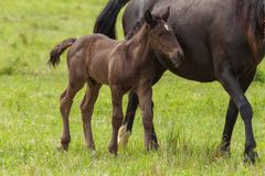 Famiglia piacevole del cavallo sul pascolo Fotografie Stock