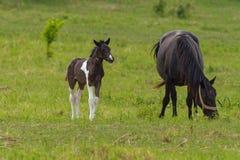 Famiglia piacevole del cavallo sul pascolo Fotografie Stock Libere da Diritti