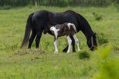 Famiglia piacevole del cavallo sul pascolo Fotografia Stock