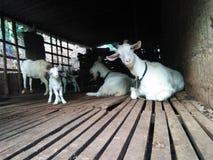 famiglia piacevole della capra della foto naturale dello Sri Lanka Immagini Stock