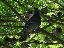 Famiglia pigra dei piccioni sull'albero fotografia stock