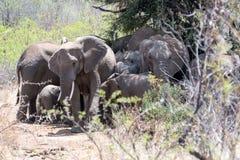 Famiglia Sudafrica dell'elefante con molto più parole immagini stock libere da diritti