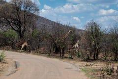 Famiglia Sudafrica dell'elefante della Sudafrica della famiglia della giraffa fotografia stock libera da diritti