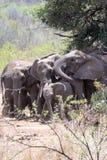 Famiglia Sudafrica dell'elefante sotto l'albero immagini stock libere da diritti