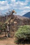 Famiglia Sudafrica della giraffa della Sudafrica della famiglia della giraffa fotografia stock