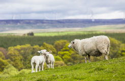 Famiglia sul prato - pecore scozzesi Immagine Stock