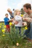 Famiglia sulla caccia dell'uovo di Pasqua nel campo del Daffodil fotografie stock libere da diritti