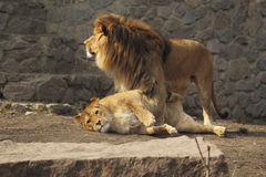 Famiglia sveglia dei leoni Immagini Stock