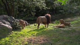 Familia agradable de leones que miran a la cámara metrajes