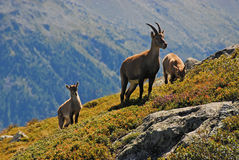 Familia alpestre del cabra montés imagenes de archivo