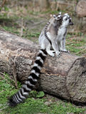 Familia atada anillo del lemur Imagen de archivo
