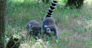 Familia atada anillo del lemur almacen de metraje de vídeo