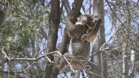 Familia Australia de la koala almacen de metraje de vídeo