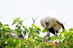 Familia blanca de la cigüeña de madera en la Florida del sur Imagenes de archivo
