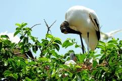 Familia blanca de la cigüeña de madera, la Florida Imagen de archivo libre de regalías