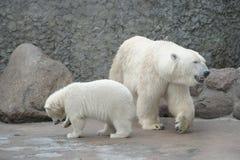 Familia blanca de los osos polares Imágenes de archivo libres de regalías