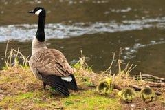 Familia canadiense del ganso Fotos de archivo libres de regalías