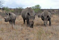Familia con 2 becerros, Kruger NP, Suráfrica del rinoceronte Fotografía de archivo