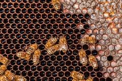 Familia de abejas en los panales Fotos de archivo libres de regalías