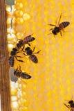 Familia de abejas en los panales Fotografía de archivo