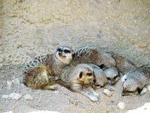 Familia de abrazo de Meerkats Imágenes de archivo libres de regalías