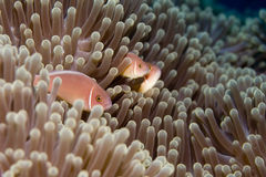 Familia de Anemonefish Foto de archivo
