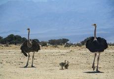 Familia de avestruz africana (camelus del Struthio) en la reserva de naturaleza, Israel Imagen de archivo