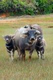 Familia de búfalo fotografía de archivo