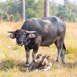 Familia de búfalos tailandeses locales Imágenes de archivo libres de regalías