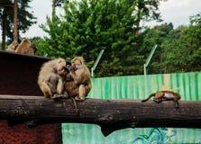 Familia de babuinos Fotografía de archivo